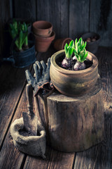 Repotting spring flowers in old wooden shed