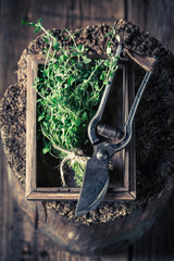 Freshly harvested thyme with old garden pruning scissors