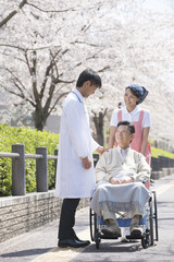 Wheel chaired patient and nursing helper under cherry blossoms