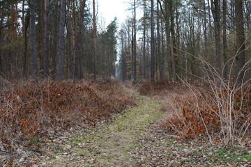 ścieżka przez las wczesną wiosną