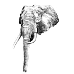 the head of an elephant, sketch, vector graphics, black and white drawing