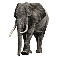 elephant in full growth, moving forward, sketch graphics vector, color illustration