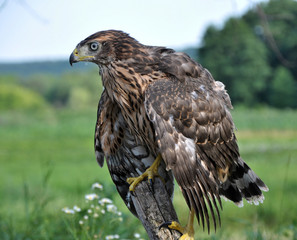A young hawk drooping wings sitting on the trunk of an old tree