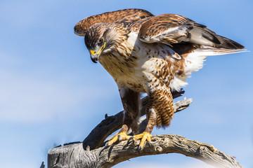 Ferruginous Hawk in Tucson Arizona Wall mural