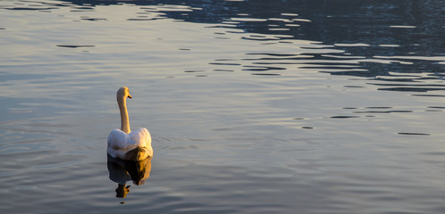 A goose swimming in the lake