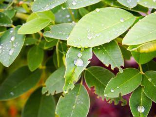 雨上がりの葉っぱ