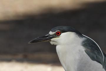 Portrait of male black crowned night heron