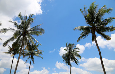 Coconut tree Tropical country