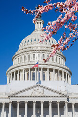 US Capitol over blue sky with blooming cherry on foreground