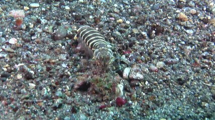 search photos banded fish spearer mantis shrimp