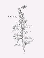 Thai basil vector.
