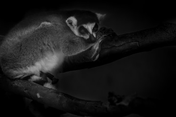 Black and White Lemur relax in tree nature look to outside