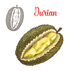 Durian exotic fruit vector sketch icon