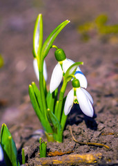 Search photos first spring flowers snowdrop snowdrop galanthus first spring flowers mightylinksfo