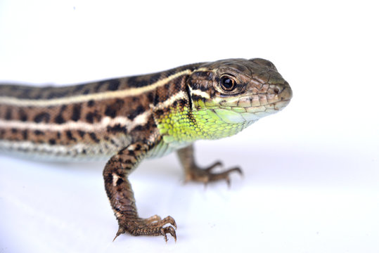 Bearded dragon (agama lizard) eating zophobas worm over white