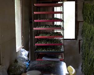 Cannabis drying in racks