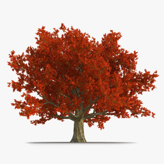 Old Red Oak Tree Autumn on white. 3D illustration