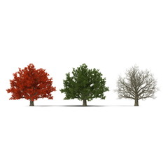 Red maple tree autumn, summer, winter isolated on white background. 3D illustration