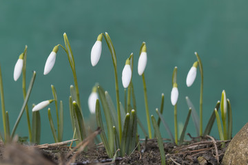 little closed snowdrops on spring morning, detail
