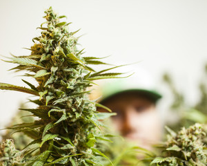 USA - Cannabis - Medical Marijuana Grow - Portland, Ore