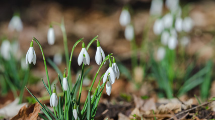 SNOWDROPS - early spring flowers in the park