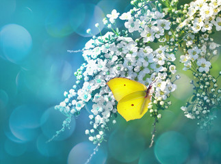 Yellow butterfly close-up macro on a flowering bush branch on a blue background. Spring background template with shallow white spring flowers outdoors. Bright colorful romantic artistic image.