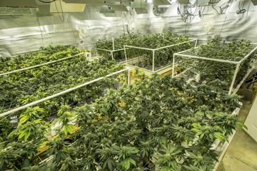 Cannabis plants growing in growroom