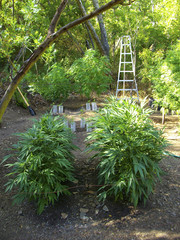 California cannabis outdoor farm