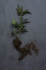 Cannabis plant against slate background