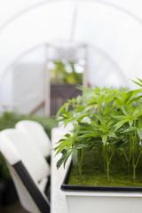 Cannabis clones.