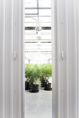 Inside a large cannabis canopy grow in the Northwest.