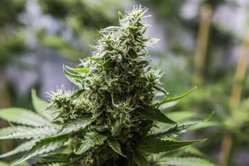 Close up of marijuana plant