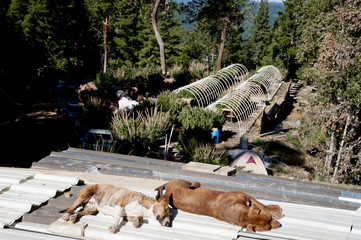 View of cannabis farm, dogs sleeping on metal sheet in foreground