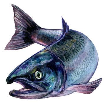 Whole fresh atlantic salmon fish isolated, watercolor illustration on white