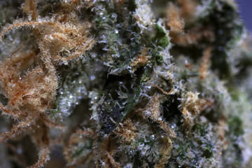 Close up of cannabis strain