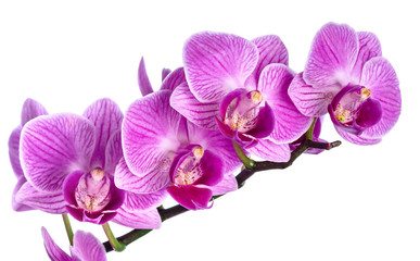 Pink streaked orchid isolated
