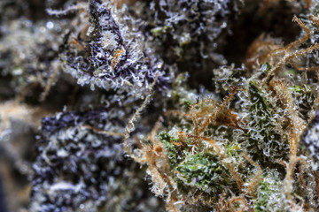 Close up of cannabis flower
