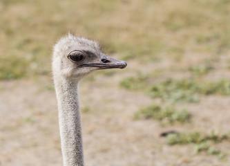 closeup head ostrich outdoors