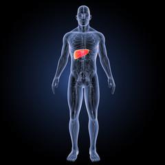 Liver with circulatory system anterior view
