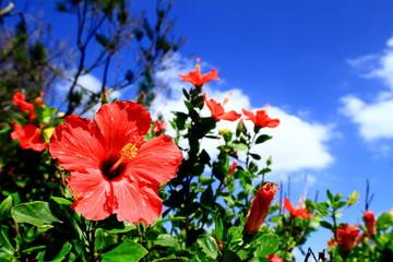 沖縄のハイビスカスと青空