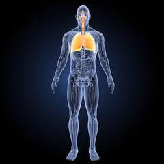 Respiratory system with anatomy anterior view