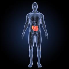 Small intestine with circulatory system anterior view