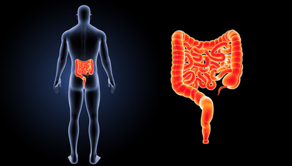 Intestine zoom with body posterior view