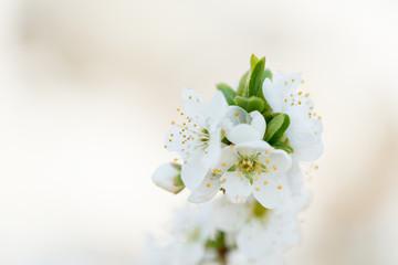 Flower Prunus Domestic