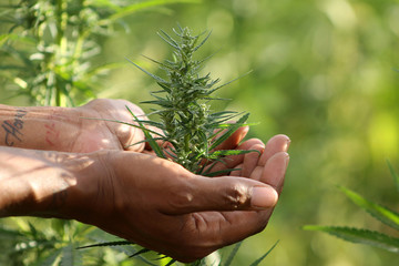 Close up of woman's hand holding cannabis plant