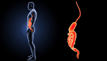 Stomach and intestine zoom with body lateral view