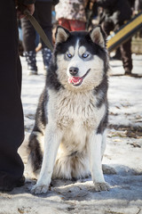 Siberian Husky sitting on a snow  during the dog training course