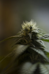 Portraits of flowering indoor cannabis plants