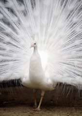 Peacock showing feathers, Kagawa prefecture, Japan