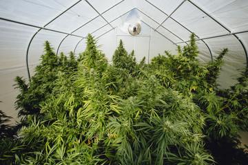 Marijuana plants in growroom